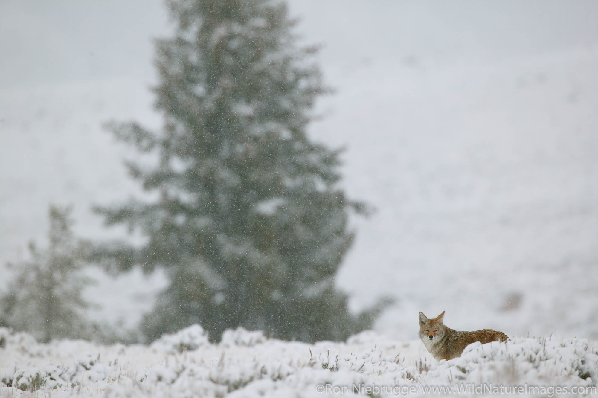 Coyote in a snow storm, Yellowstone National Park, Wyoming.
