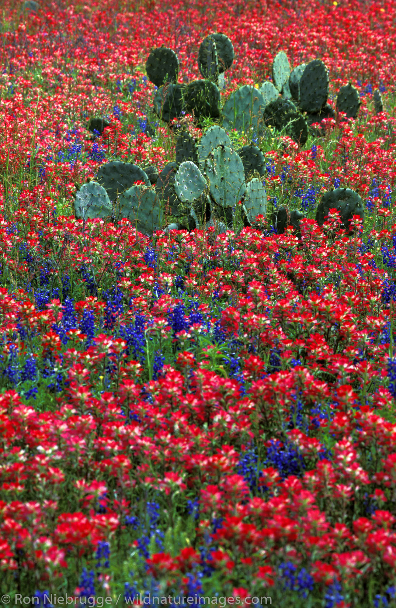Cactus in field of Indian Paintbrush, Central Texas.
