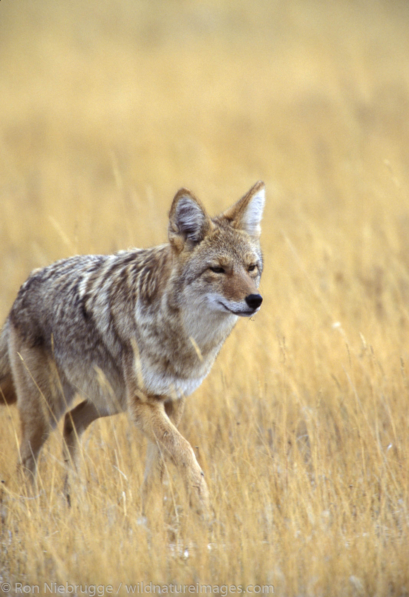 A Coyote in Yellowstone National Park, Wyoming.