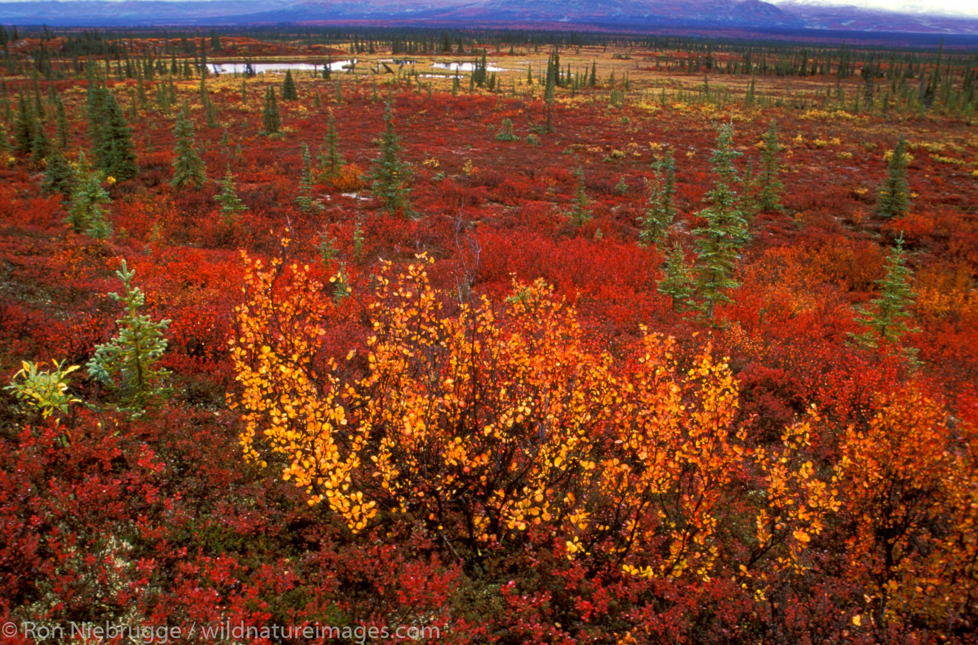 The Boreal or Taiga forest during fall from along the Denali Highway, Alaska.