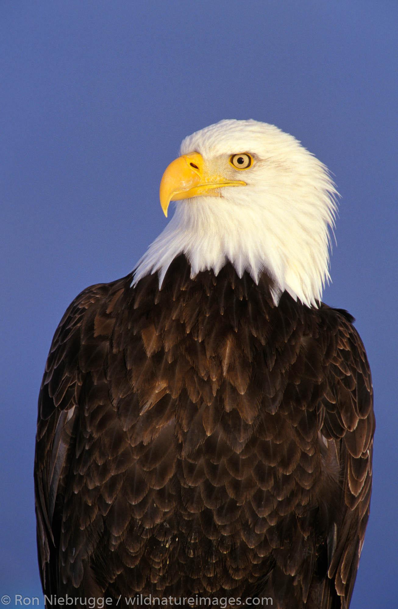 Bald Eagle, Homer, Alaska.  (Haliaeetus leucocephalus)