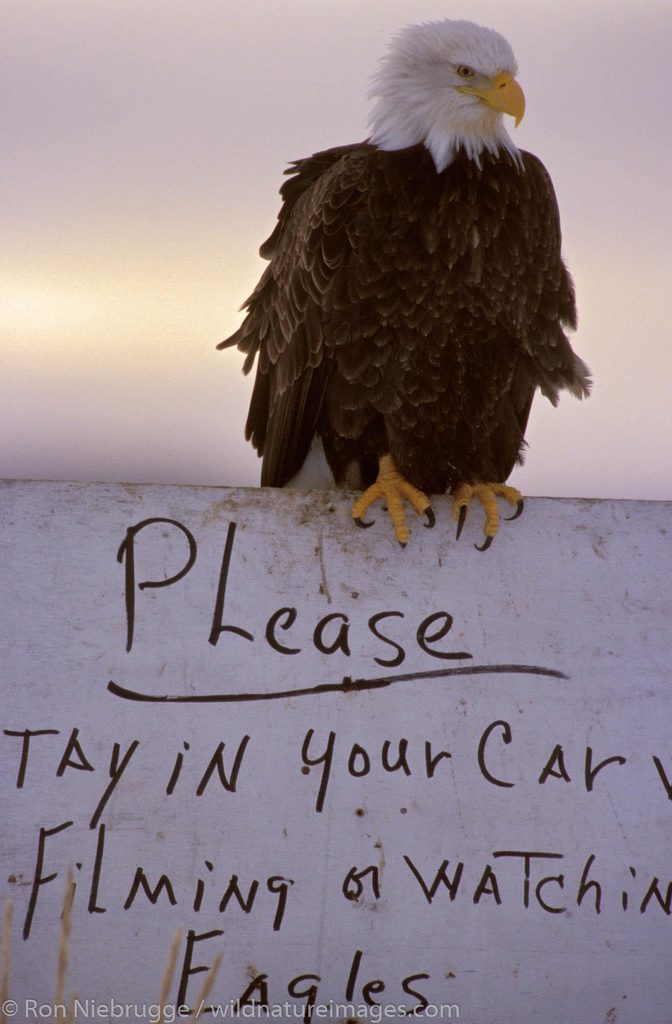 Bald Eagle on a sign, Homer, Alaska.  (Haliaeetus leucocephalus)