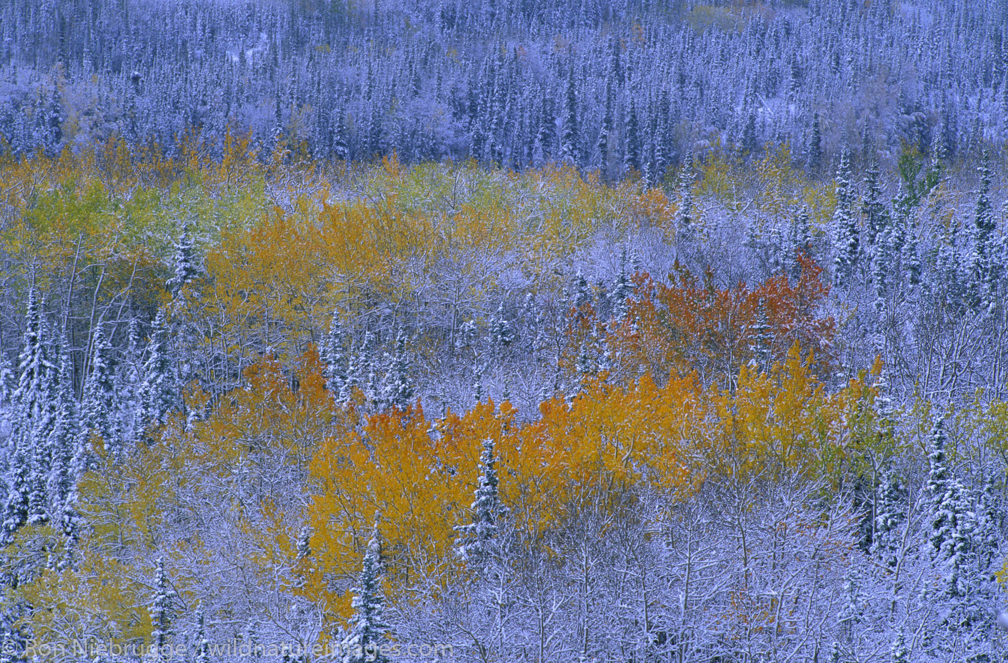 Fall's Early Snow.  Denali National Park, Alaska.