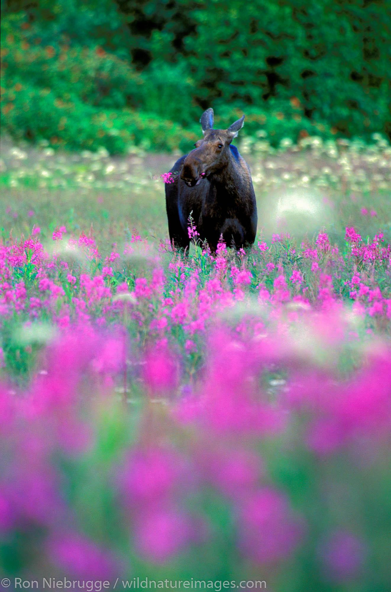 Moose (Alces alces) eating fireweed.  Kenai Peninsula, Seward, Alaska.