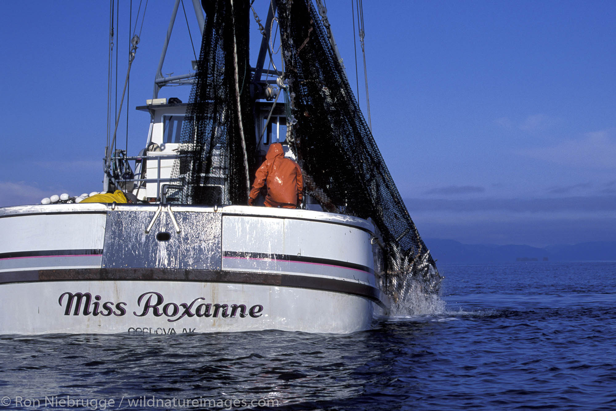 The commercial salmon seiner Miss Roxanne hauling in salmon in Prince William Sound, Alaska.