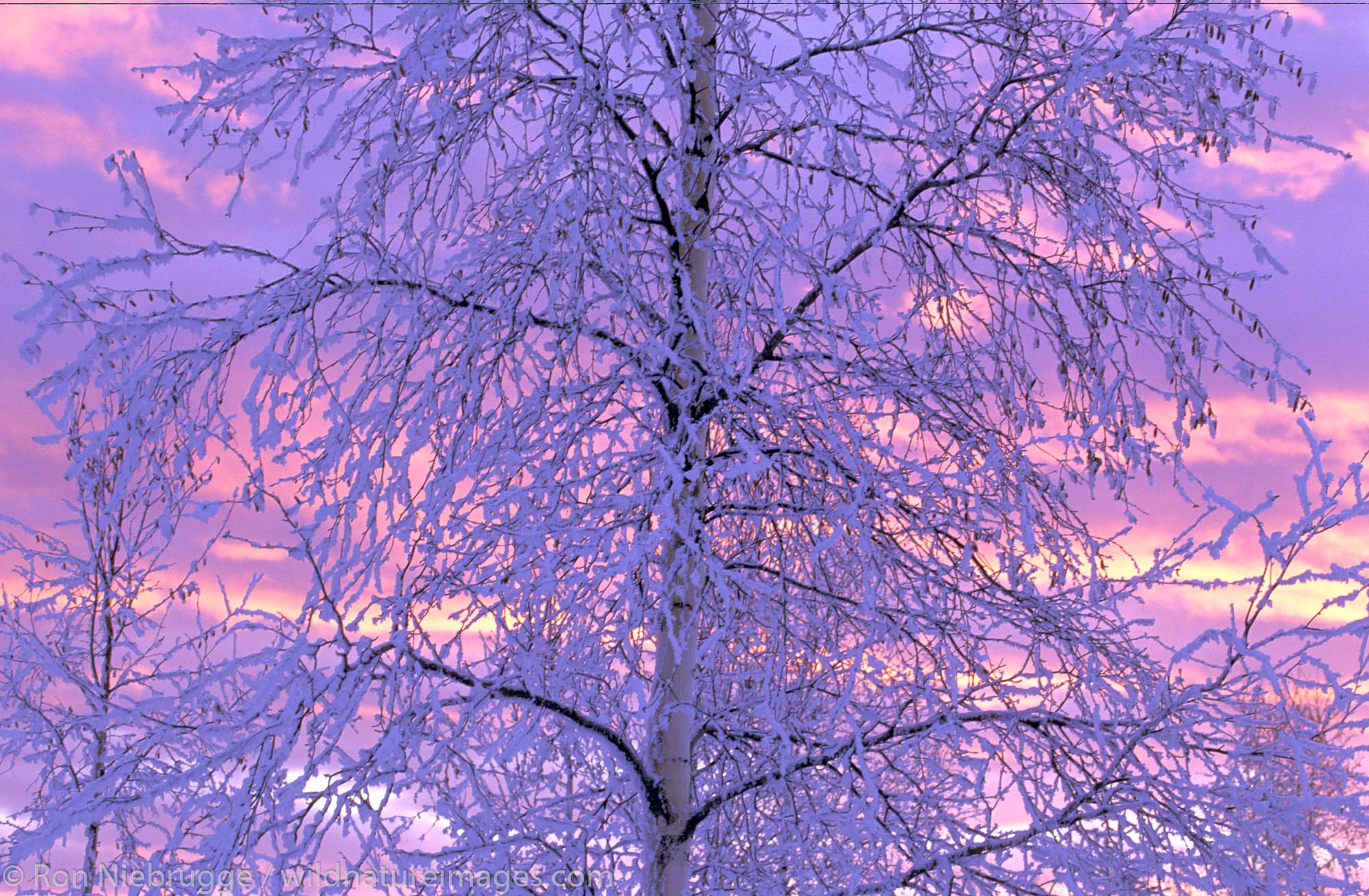 Hoarfrost Tree Sunset. Fairbanks, Alaska.