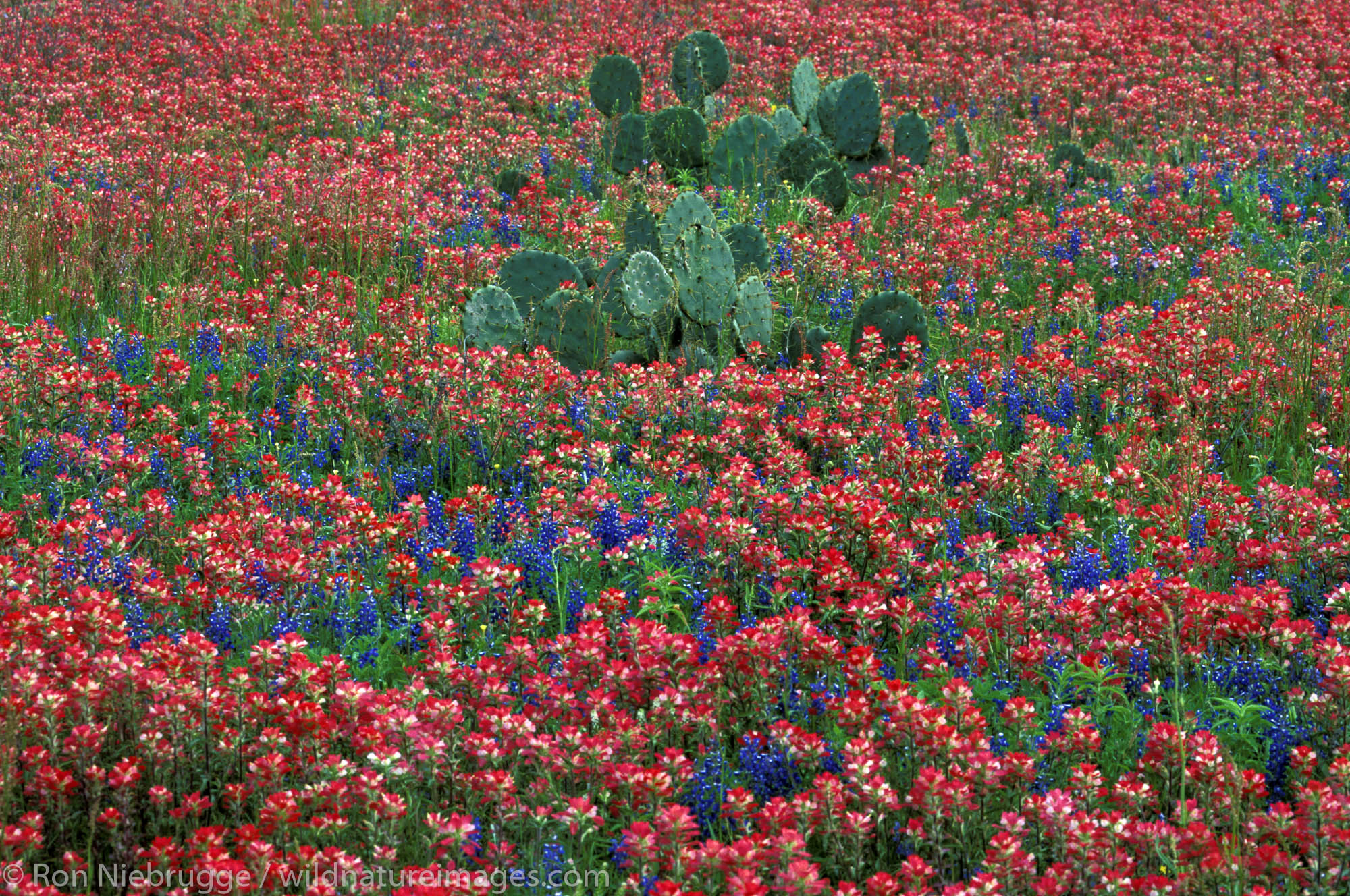Cactus in Field of Indian Paintbrush and Bluebonnet. near San Antonio Texas.