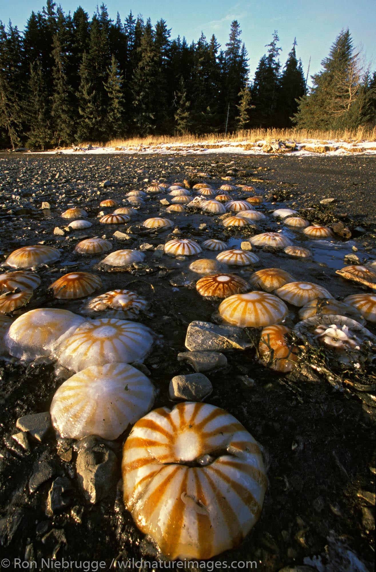 Jellyfish washed up on beach.  Seward, Kenai Peninsula, Alaska.