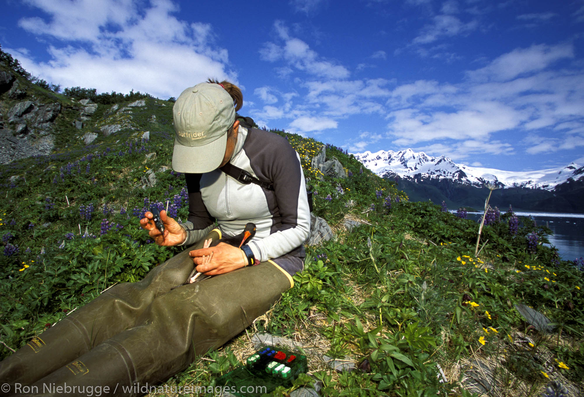 Researcher Julie Morse band and take various measurements on a Black Oystercatcher in Ailiak Bay, Kenai Fjords National Park...