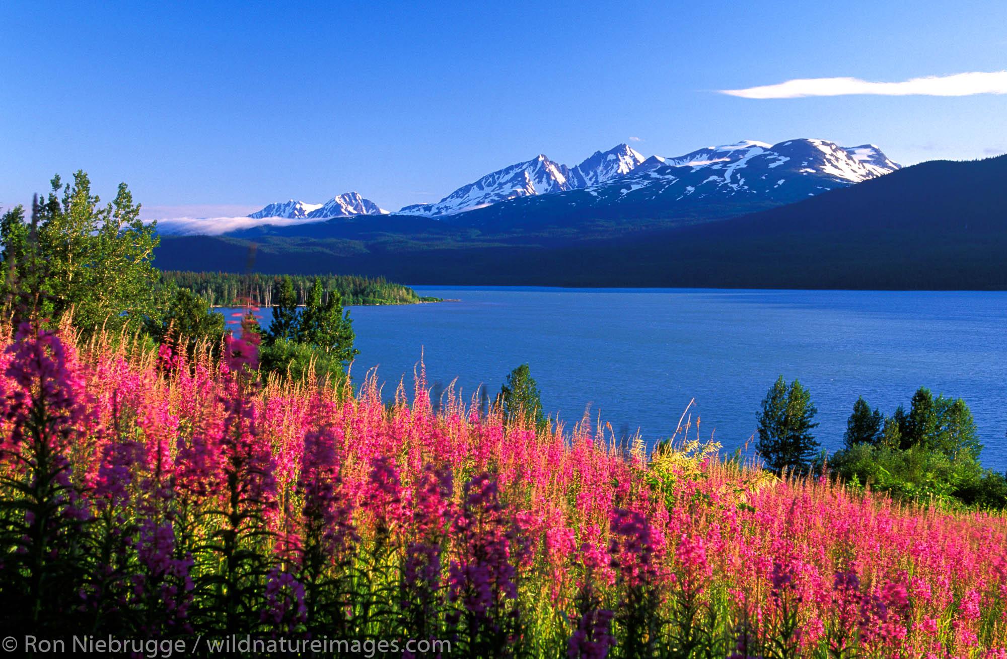 Kenai Lake Fireweed.  Kenai Peninsula, Alaska.