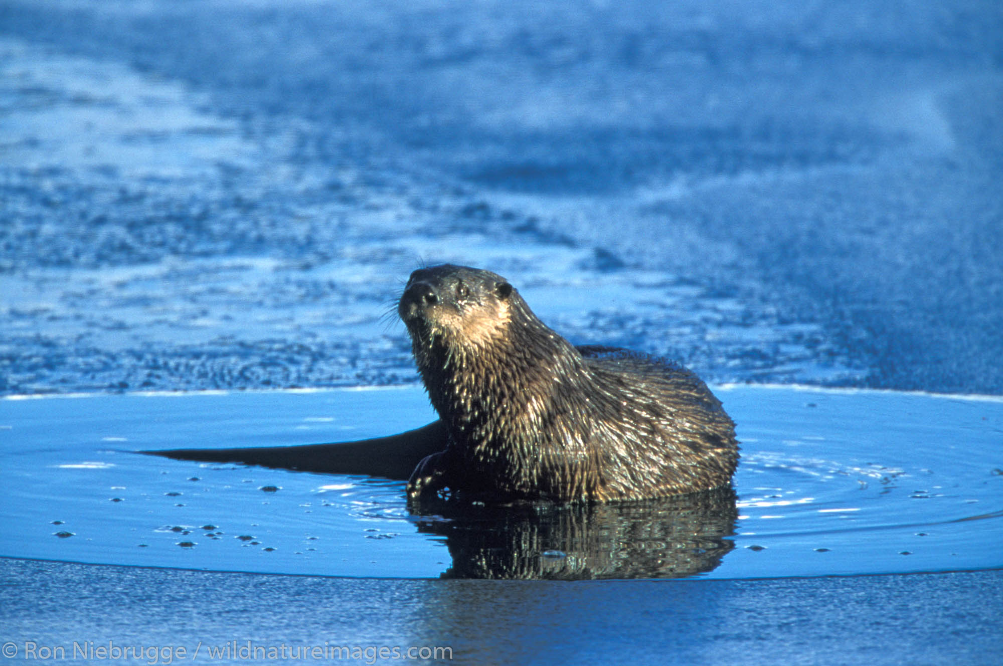 Northern River or Land Otter, (Lutra canadensis) sits on the ice, Seward, Alaska.