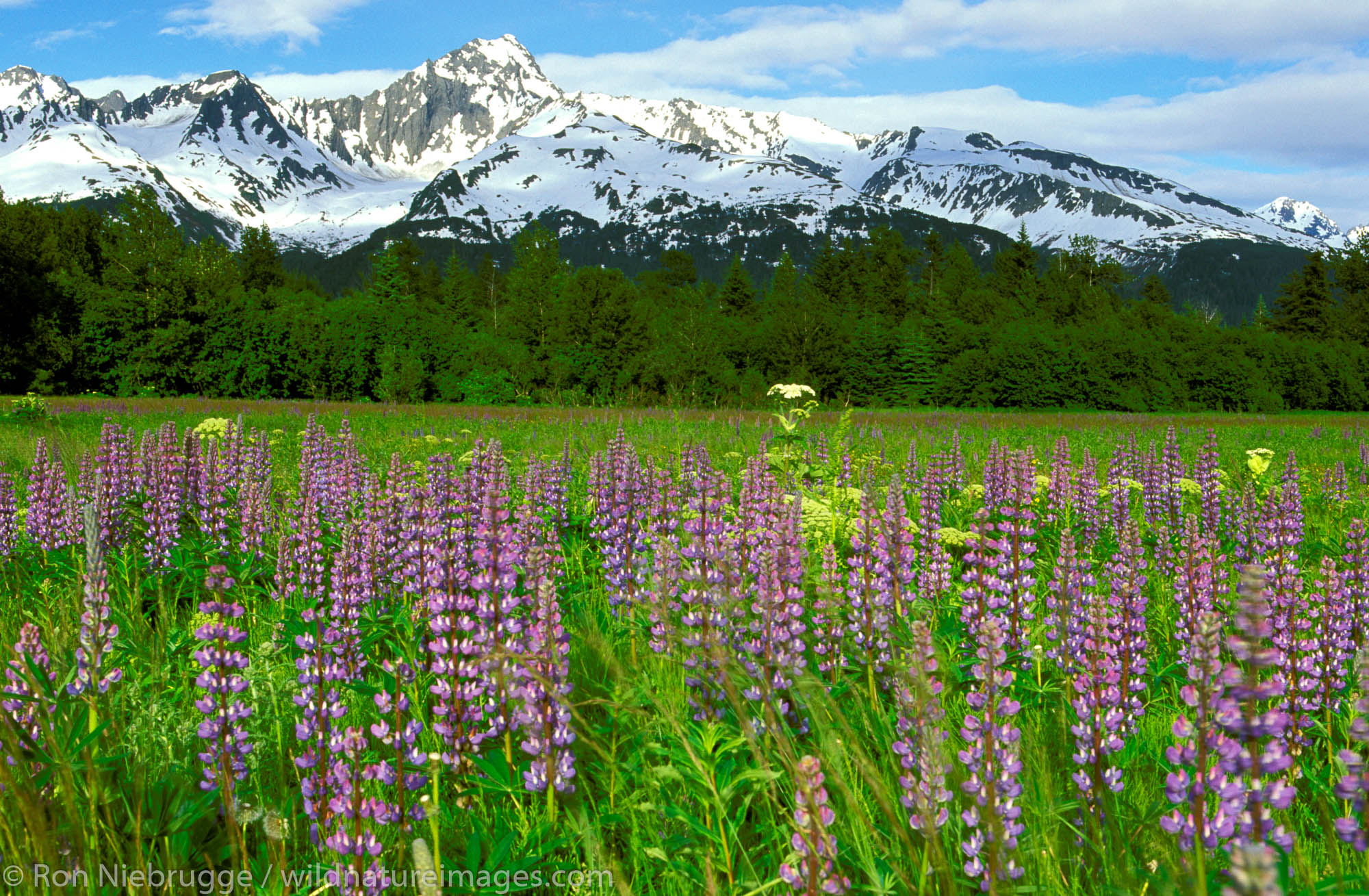 Field of wildflowers and Mt. Alice, Chuach National Forest, Seward, Alaska.