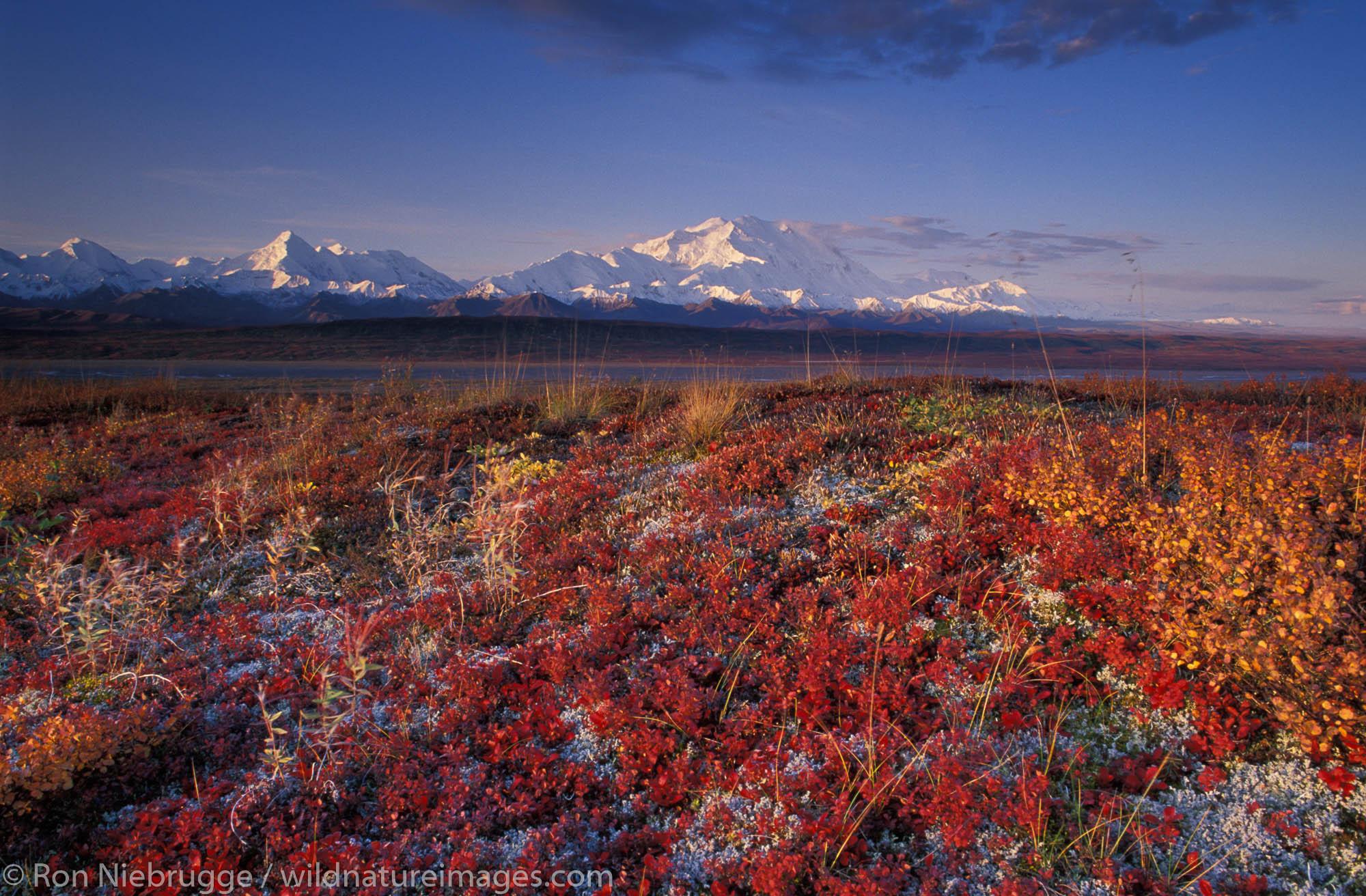 Fall tundra and Mt McKinley, Denali National Park, Alaska.