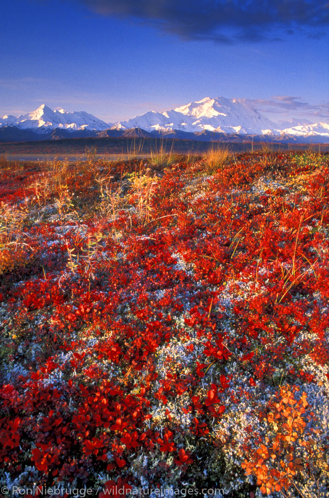 Alpine Bearberry turns red in fall as Mt. McKinley looms in the background.  Denali National Park, Alaska.