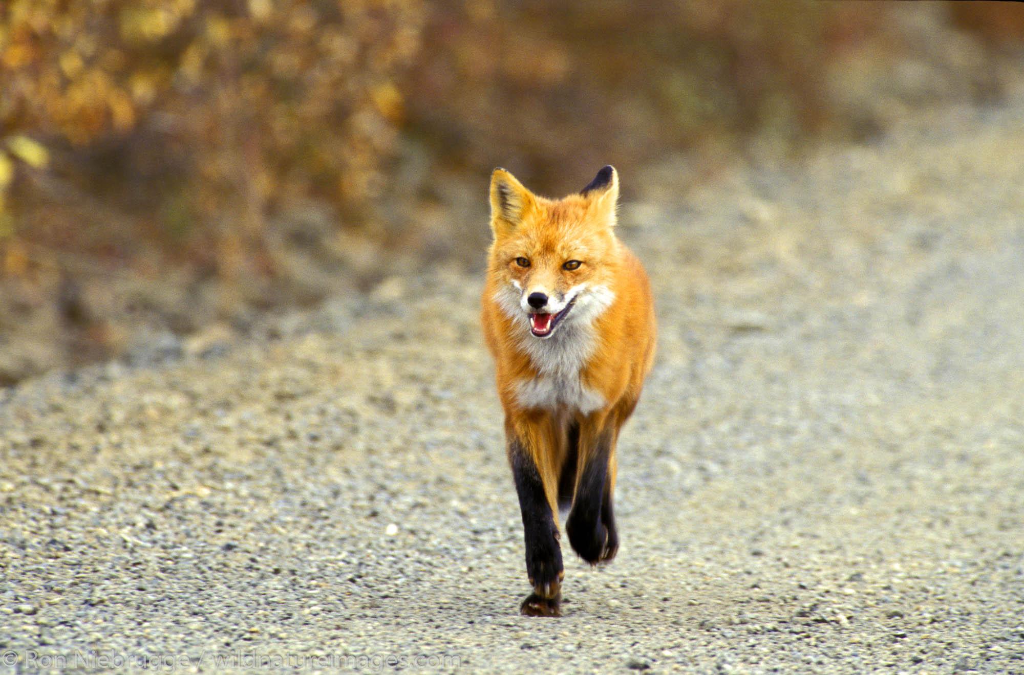 A Red Fox in Denali National Park, Alaska.