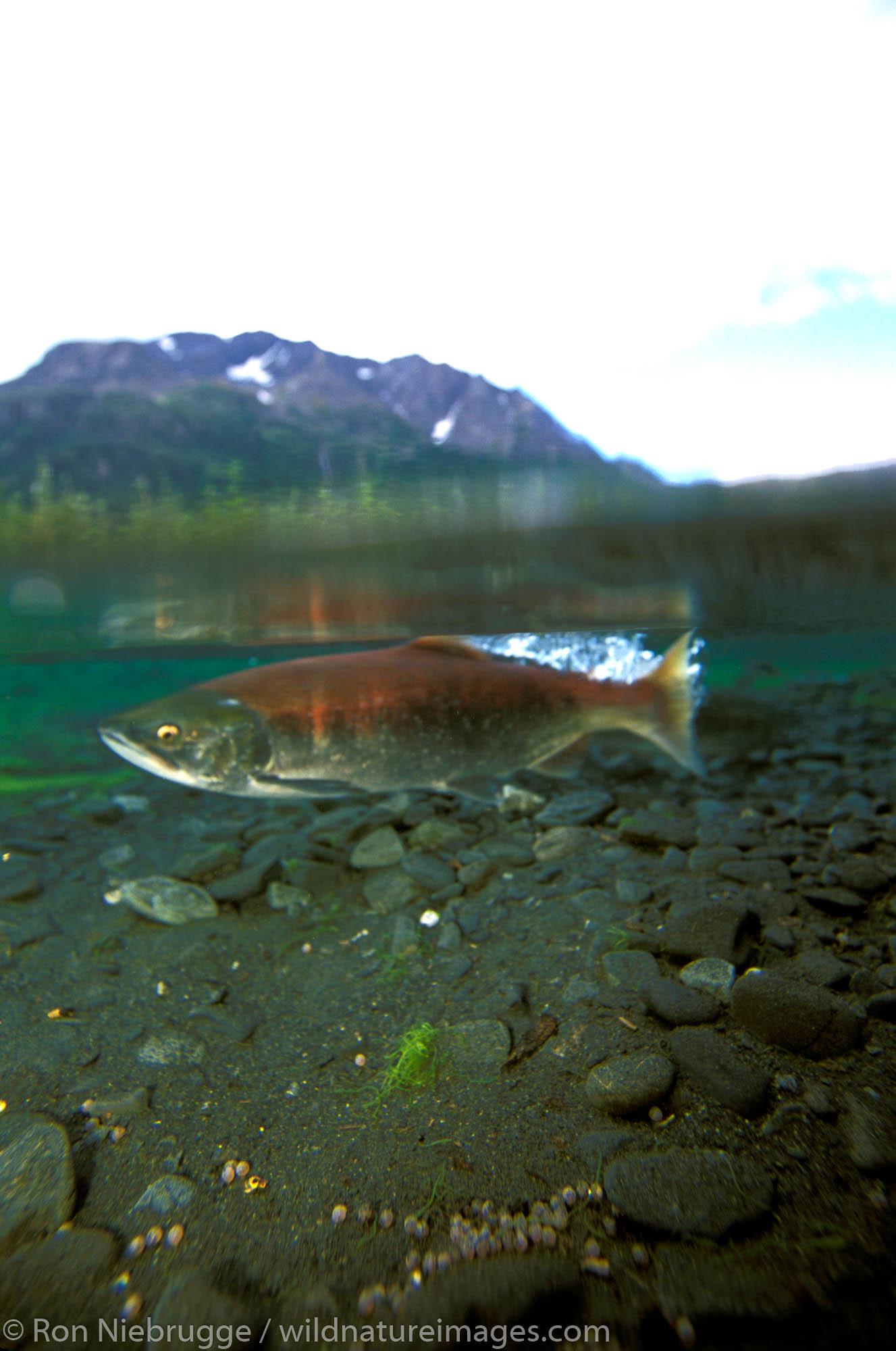 Red Salmon (Oncorhynchus nerka) Spawning.  Kenai Peninsula, Alaska.