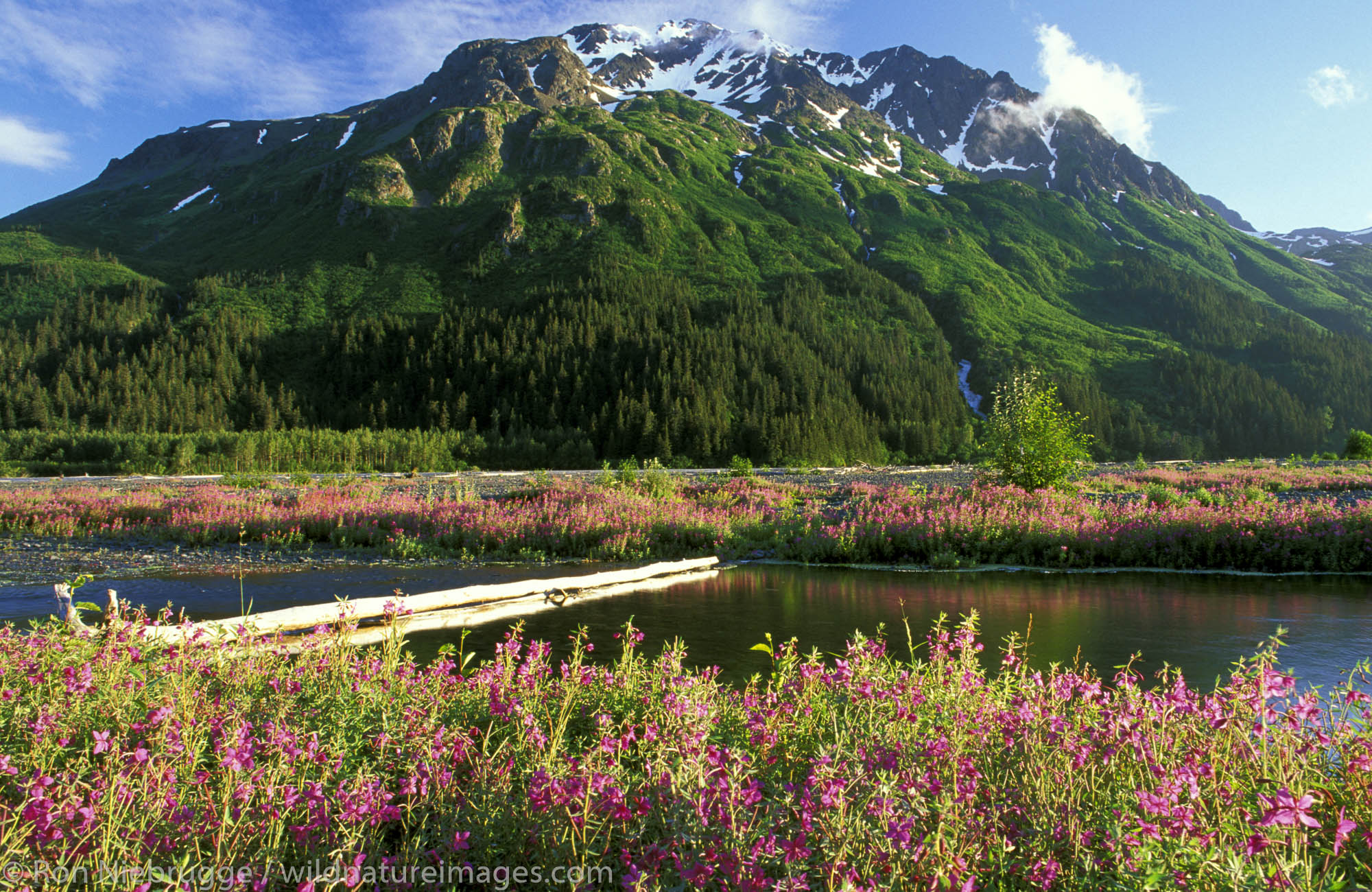 Fireweed in the Resurrection River Valley, Chugach National Forest and Kenai Fjords National Park boundry, near Seward, Alaska...