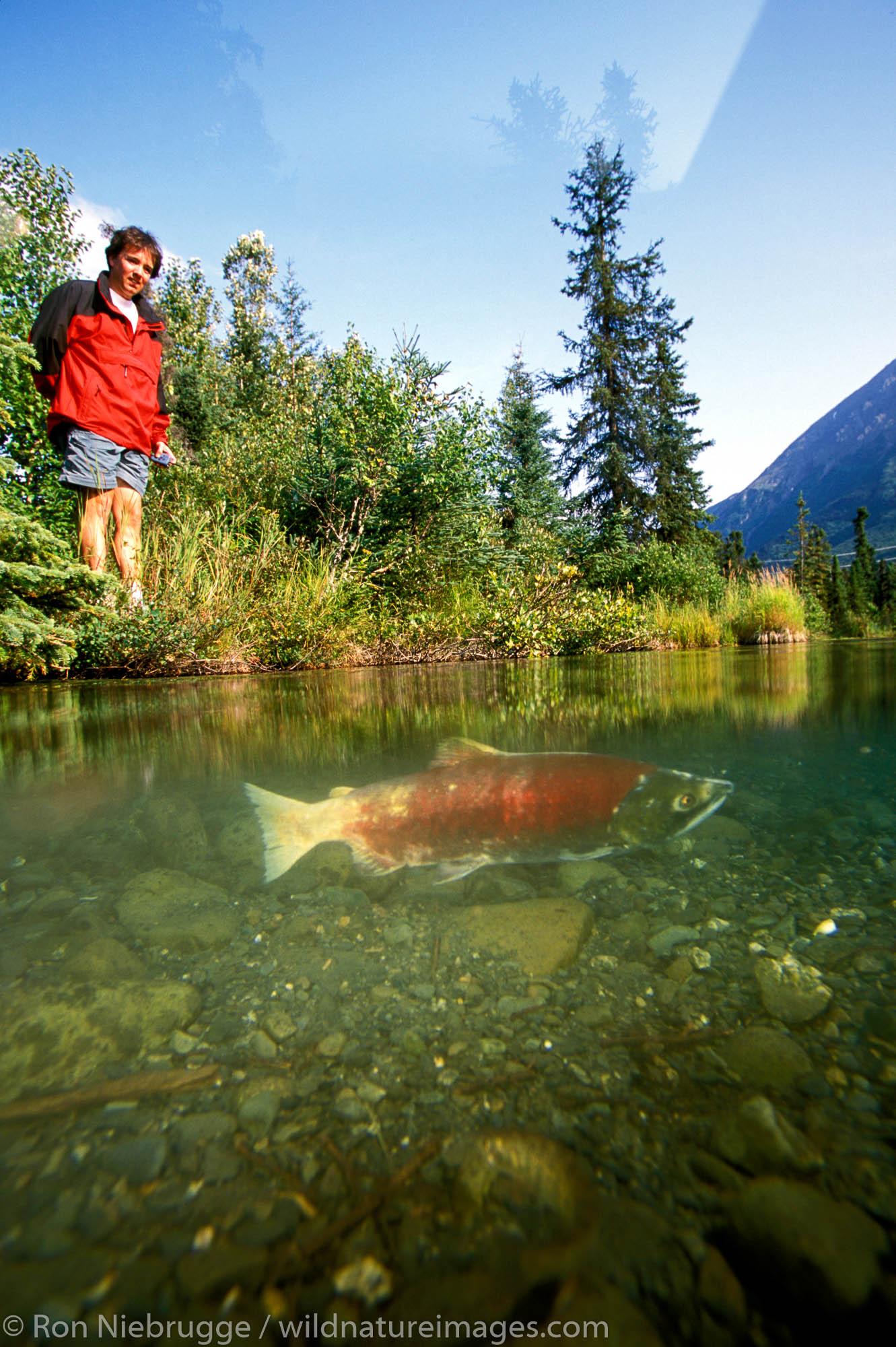 Person watches Red Salmon (Oncorhynchus nerka) Spawning.  Kenai Peninsula, Alaska.  MR