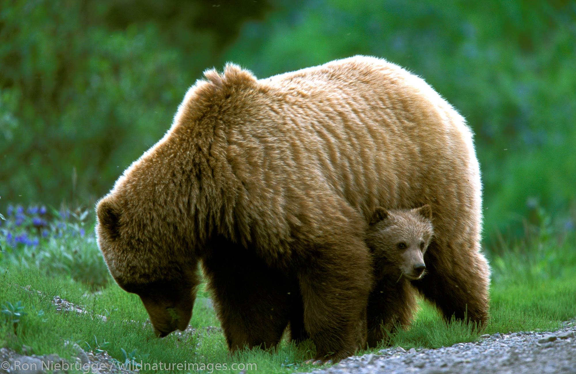 """Grizzly """"Brown"""" Bear Sow and Cub (Ursus arctos).  Denali National Park, Alaska."""