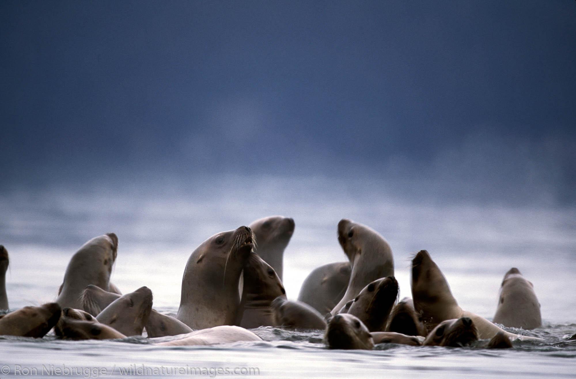 Group of Steller Sea Lions (Eumetopias jubatus).  Resurrection Bay, Seward, Alaska.