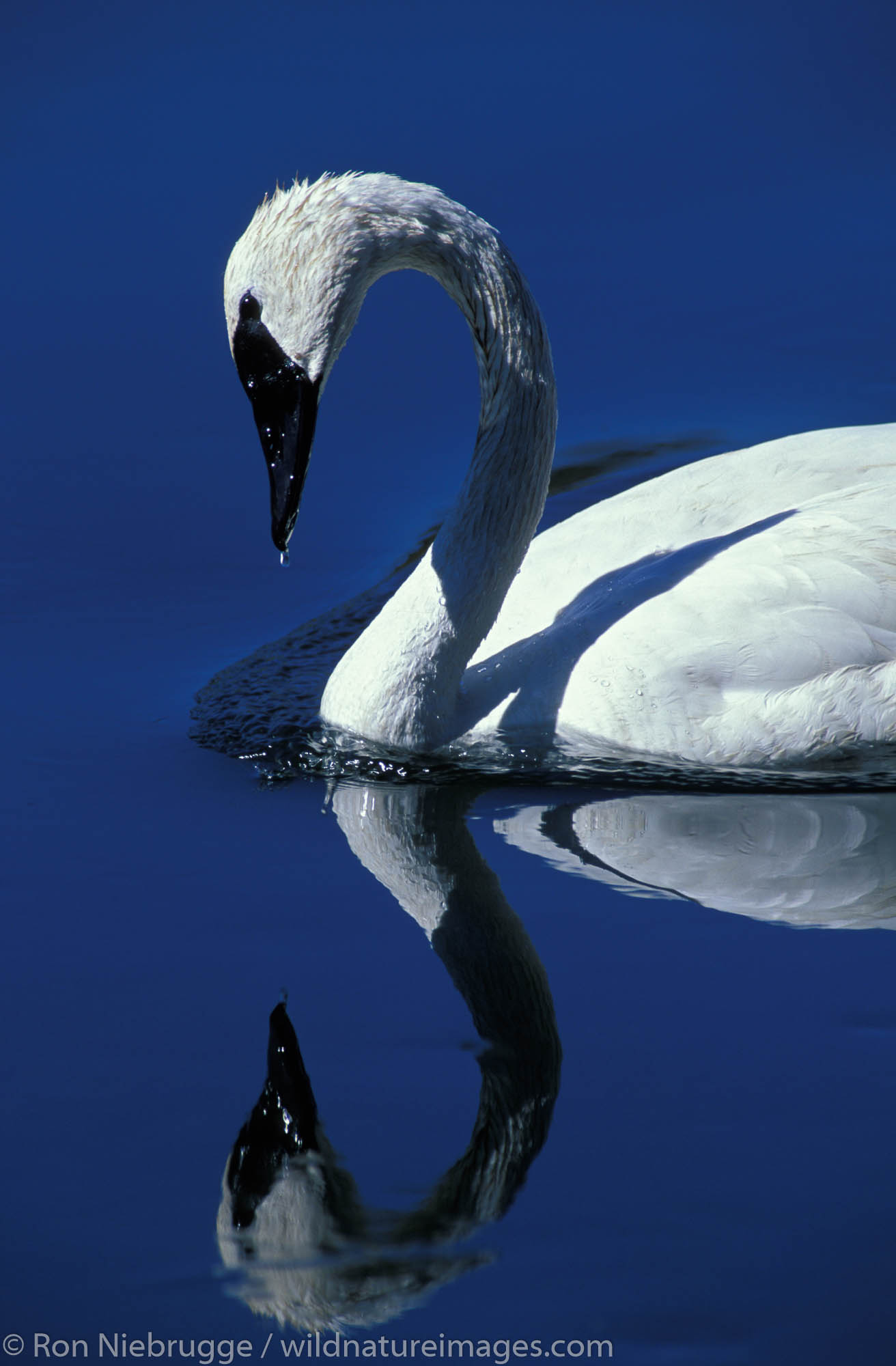 A Trumpeter Swan (Cygnus buccinator) on the Madison River, Yellowstone National Park, Wyoming.