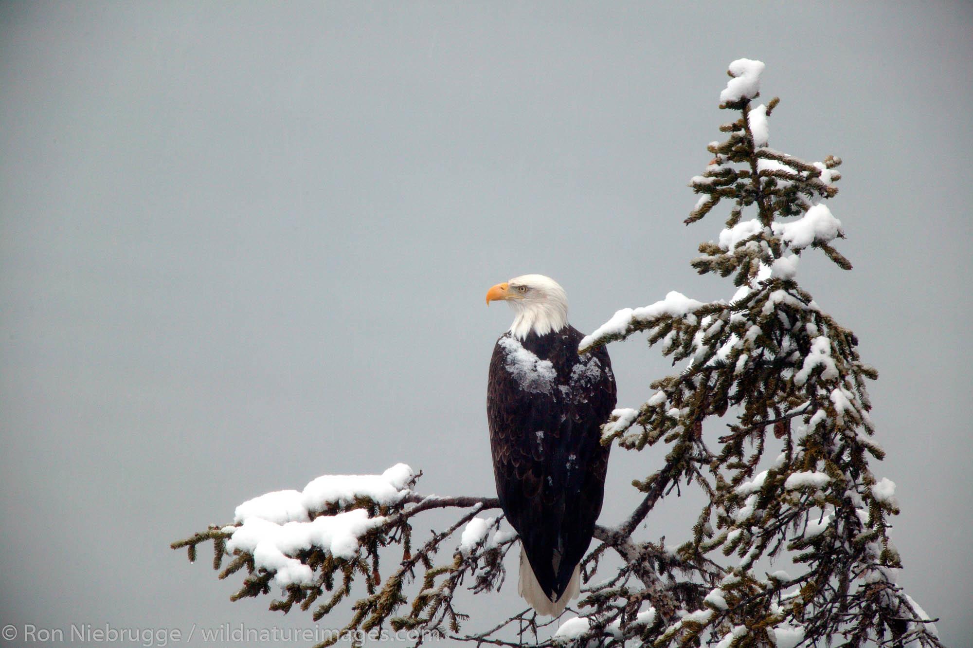 Snow falls on Bald Eagle (Haliaeetus leucocephalus), Ressurection Bay in the background.  Seward, Alaska.