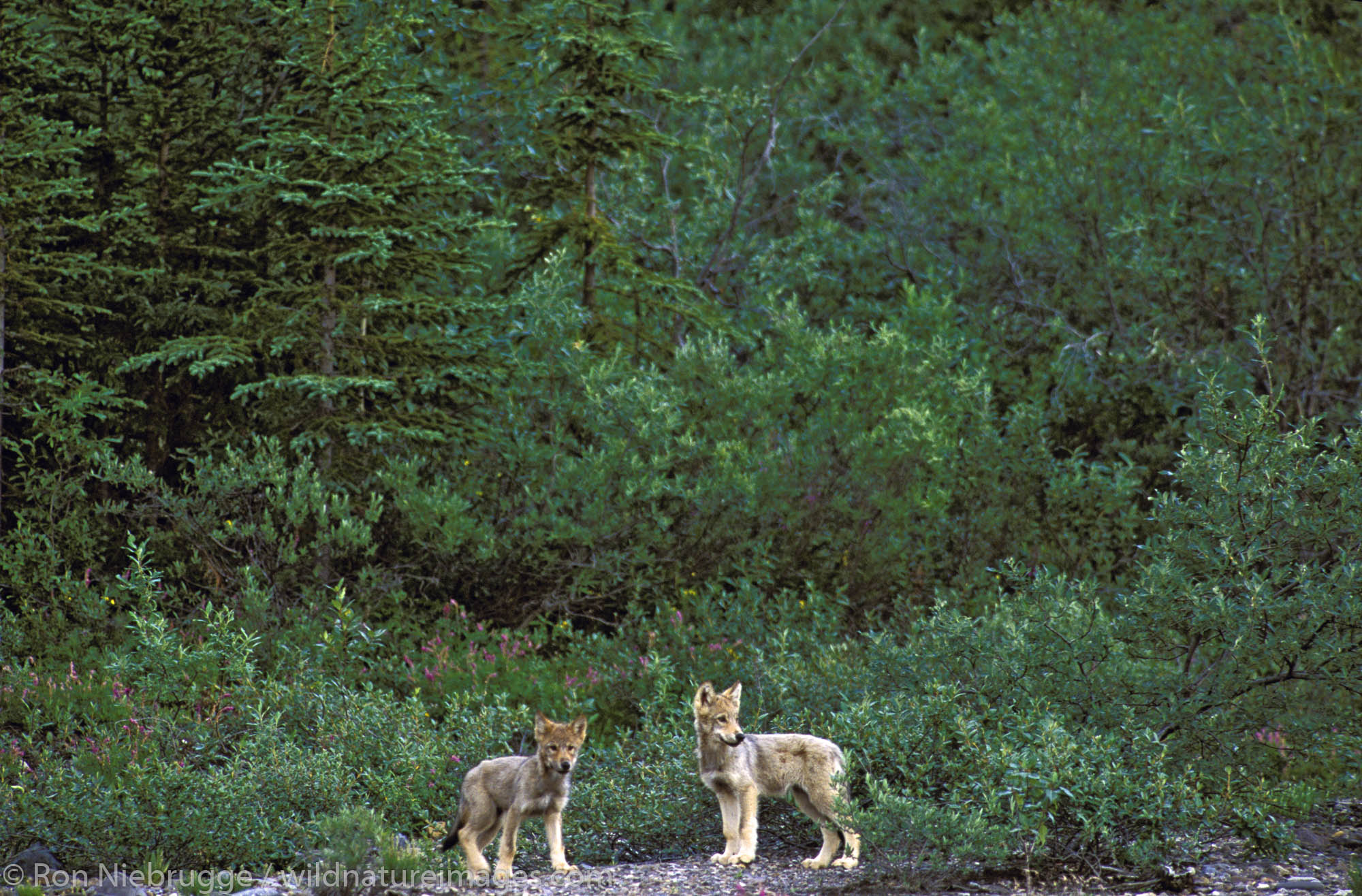 Two wild wolf pups, Denali National Park, Alaska.