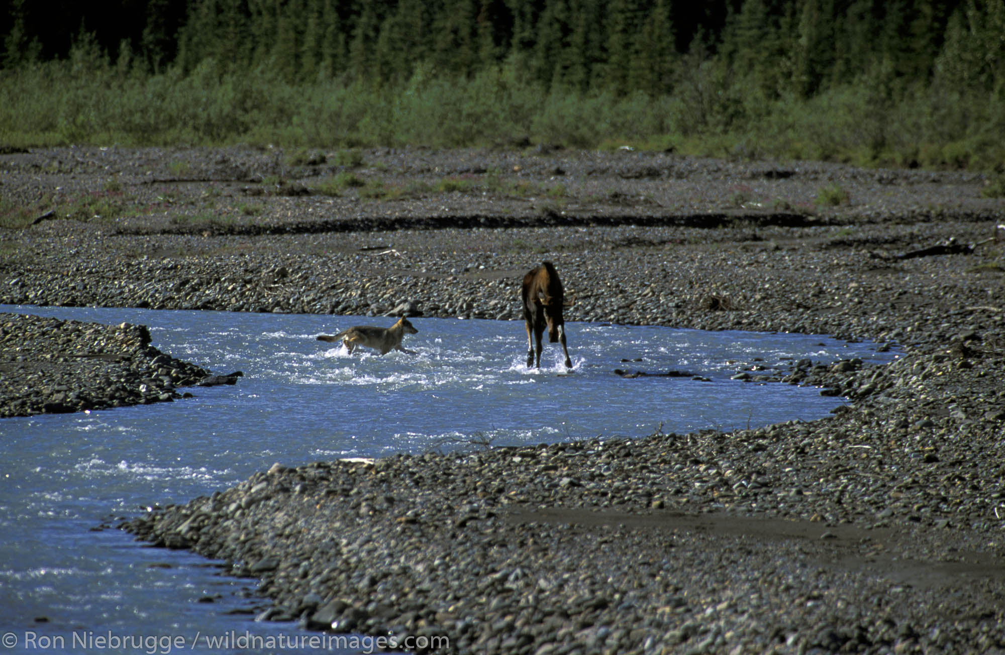 A wild wolf chases a young bull moose in the Teklanika River, Denali National Park, Alaska.